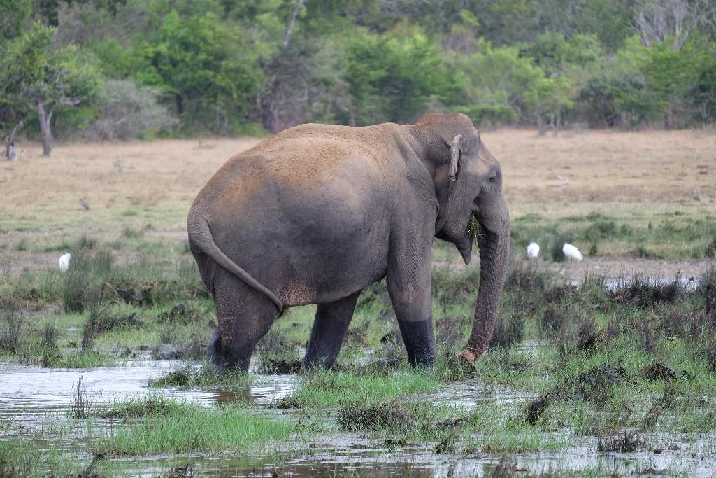Olifant Sri Lanka